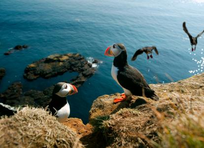 Puffins at Látrabjarg